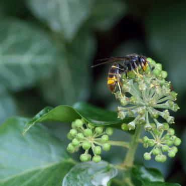 Faites attention aux piqûres de frelon asiatique en automne