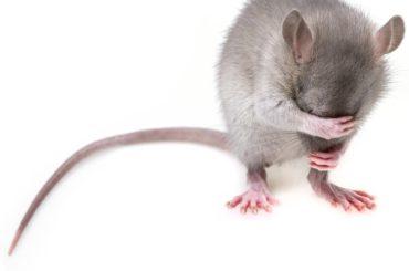 rats en cache-cache