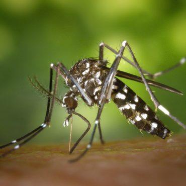 Les moustiques tigres présentent un danger pour la santé
